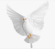 Weiße Taube zur Hochzeit